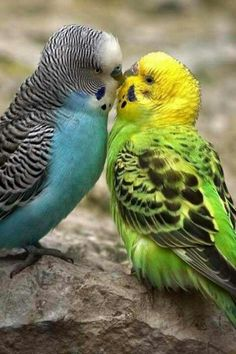 The budgerigar, also known as the common parakeet or shell parakeet and usually informally nicknamed the budgie, is a small, long-tailed, seed-eating parrot. Funny Birds, Cute Birds, Pretty Birds, Beautiful Birds, Animals Beautiful, Exotic Birds, Colorful Birds, Vogel Gif, Animals And Pets