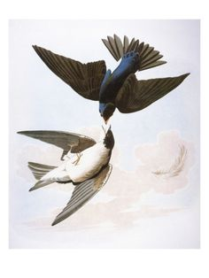 Audubon: Swallows, 1827-38