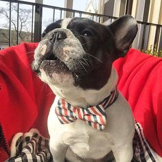 When you look this good you want to talk about it.  Photo by @gaston_delapoussiere . . . #Frenchbulldog #frenchie #frenchiesofig #instafrenchie #frenchielove #frenchbully #doglife #dogoftheday #squishyfacecrew #thefrenchdog #etsy #Dogfashion #pamperedpets #petaccessories #dogsinbowties #bowtie #ilookgood #howlaboutit