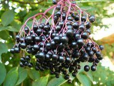 NAŠE KUCHYNĚ: Černý bez bezinky Edible Plants, Korn, Herb Garden, Weed, Spices, Food And Drink, Herbs, Leaves, Fruit