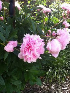 Tips and tricks for growing peonies - La nature by Kinekelly Easy Backyard, Flower Garden, Backyard Planters, Planting Roses, Plants, Peonies, Growing Peonies, Garden Tags, Flowers