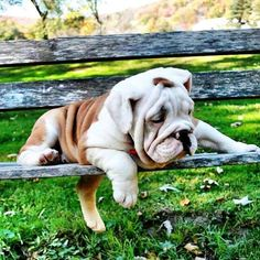 The major breeds of bulldogs are English bulldog, American bulldog, and French bulldog. The bulldog has a broad shoulder which matches with the head. Bulldog Pics, Bulldog Puppies, Cute Puppies, Cute Dogs, Dogs And Puppies, Doggies, Animals And Pets, Baby Animals, Cute Animals