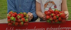 It's strawberry season here, so one of ourschool holiday to dos was a trip to a pick your own strawberry field. We went to the Strawberry Fields Farm on the Sunshine Coast. We ended up with …