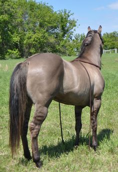 Twister. Grulla stallion.