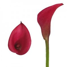 Our NEW Callafornia Red! #redcallalily #minicallalilyflowers Calla Lily Colors, Calla Lily Flowers, Pear, Fruit, Mini, Cold Porcelain