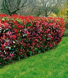 Photinia-Hecke 'Red Robin' - All For Garden Leylandii Hedge, Hornbeam Hedge, Hedging Plants, Garden Plants, Shrubs, Privacy Hedge, Photinia Red Robin, Boxwood Landscaping, Privacy Landscaping
