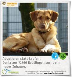 Denia wurde aus einer Tötungsstation in Bulgarien ins Tierheim Reutlingen gebracht. Auch viele Monate nach ihrer Ankunft in Deutschland,  hat Denia sich noch nicht ganz eingelebt. Sie lässt sich aktuell nicht anfassen, ist aber mit anderen Hunden verträglich. Sie könnte gut mit einem Zweithund zurechtkommen. Katzen und Kinder kennt sie.
