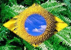 Bandeira do Brasil de flores - http://www.facebook.com/photo.php?fbid=593053337381612=a.479360542084226.109984.100000308549354=1=nf - 5836_593053337381612_2103565541_n.jpg (500×350)