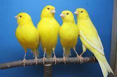 Los únicos canarios que cantan, son los machos, como reclamo a la hembra. Éstas no cantan. #PetsWorldMagazine Pretty Birds, Beautiful Birds, Canary Birds, Mundo Animal, Budgies, Fauna, Acrylic Art, Flocking, Bird Feathers