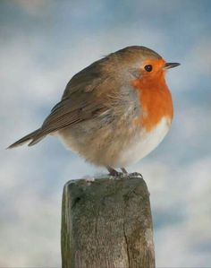 See more ideas about European robin, Robin and Robin bird. Cute Birds, Small Birds, Pretty Birds, Little Birds, Colorful Birds, Beautiful Birds, Animals Beautiful, Cute Animals, Fat Bird