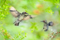 "~ Sisters Bickering ~ - ~ Sisters Bickering   姐妹口水仗 ~ 鳥類名稱 Bird Name:Philippine Glossy Starling.  亞洲輝椋鳥♀ 學名 Scientific Name: Aplonis panayensis. 科名 Family: 八哥科(Sturnidae). 輝椋鳥屬(Aplonis). 圖像大小 Image Size : 6000 x 4000 pixel My Flickr Page:  <a href=""http://www.flickr.com/photos/fuyi/"">My Flickr Page</a> My Facebook page : <a href=""https://www.facebook.com/fuyi.chen.9"">My Facebook page</a>"
