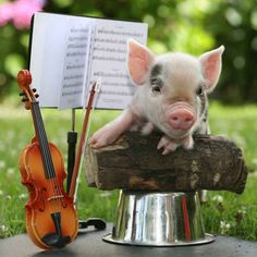 Teacup pig plays violin in a tiny orchestra. Funny Pig Pictures, Pig Pics, Teacup Piglets, Cute Piglets, Pocket Pig, National Pig Day, Miniature Pigs, Funny Pigs, Baby Pigs