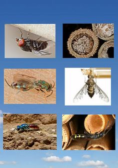 Von oben nach unten:      Taufliege (Cacoxenus indagator)     Erzwespe (Monodontomerus obsoletus)     Goldwespe (Chrysis)     Milbe (Chaetodactylus osmiae)     Trauerschweber (Anthrax anthrax)     Keulenwespe (Sapyga clavicornis)  (Schautafel Taufliege Parasit Cacoxenus indagator Milbe Chaetodactylus osmiae Erzwespe Goldwespe Trauerschweber Keulenwespe Nisthilfe Insektenhotel insect hotel mite  chalcidoid wasp gold wasp emerald wasp  club-horned wasp bee fly parasites insect hotel) Bug Hotel, Insect Hotel, Mason Bees, Flyer, Native Art, Insects, Habitats, Friends, Garden