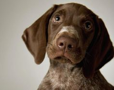 German Short-haired Pointer Puppy, Close-up Photograph - German ...