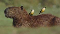 Bird Pictures, Birds Pics, Capybara, Wombat, Small Birds, Animals Of The World, Brown Bear