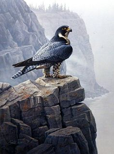 Daniel Smith's print SHORELINE SENTINEL is a magnificent depiction of a peregrine falcon. This predator can reach speeds up to 200 MPH in its hunting dive, making it the fastest member of the animal w
