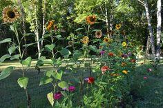 Zinnias, Fruit, Plants, Inspiration, Biblical Inspiration, Planters, Plant, Planting, Inspirational