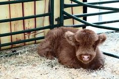 Mini Highland baby