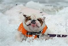 This bulldog is really enjoying his day of surfing.