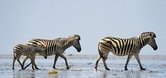 Nothing Can Stop the Zebra  A 150-mile fence in the Kalahari Desert appeared to threaten Africa's zebras, but nearly a decade later, researchers breathe a sigh of relief        By Robyn Keene-Young      Photographs by Adrian Bailey      Smithsonian magazine, March 2011