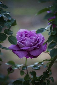 Captivating Why Rose Gardening Is So Addictive Ideas. Stupefying Why Rose Gardening Is So Addictive Ideas. Beautiful Rose Flowers, Love Rose, Exotic Flowers, Amazing Flowers, Beautiful Flowers, Beautiful Beautiful, Lavender Roses, Purple Flowers, Purple Lilac