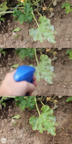 Fight ugly powdery mildew in your garden with this homemade organic fungicide that's cheap, green, and safe!
