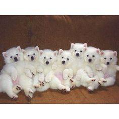 so many puppies! Miniature American Eskimo, American Eskimo Puppy, Kittens And Puppies, Cute Puppies, Cute Dogs, Happy Puppy, Happy Dogs, Spitz Dogs, Spitz Breeds