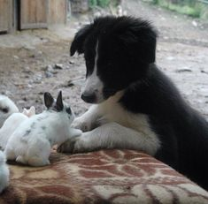 Border collie puppy and bunnies! Cute Puppies, Cute Dogs, Dogs And Puppies, Doggies, Border Collie Puppies, Collie Dog, Beautiful Dogs, I Love Dogs, Bulldogs