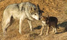 [Eureka] They're howling with joy at the Endangered Wolf Center in the hills of Eureka: A federal agency, that for decades dragged its feet when it was supposed to have been completing a plan to save the endangered Mexican gray wolf, pictured above, must now present a scientifically viable plan by November of next year. #eureka #clayton #saintlouis #kirkwood #ladue