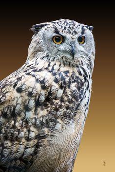 Eastern Siberian eagle owl (Bubo bubo yenisseensis)