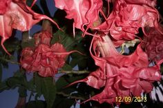 Brugmansia Thea's Liebling Angels Trumpet Plant