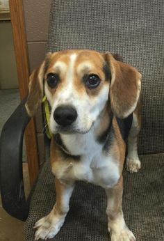 <3 # 5 STRAY! AVAIL 1-30!! <3 8-10 mths. <3 Beagle • Young • Male • Small. Avail a limited time from the Carroll County Dog Pound, 2185 Kensington Rd. NE, Route 9, Carrollton, Ohio 44615!! 330-627-4244. Located SE of the Akron/ Canton area. Open Monday-Friday, 7-4, except holidays. $20 adoption fee includes dog license which will be mailed & a 5-way shot. Dogs at the pound are strays & surrenders & not health or temperament checked.