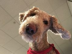 What Choo lookin at? I'm a poodle, you heard that right, a plain ol standard poodle :)
