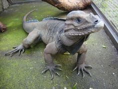 Looking like a modern day Triceratops, the Rhinoceros Iguana (Cyclura cornuta) is a large, heavy species of iguana first identified by Pierre Joseph Bonnaterre in 1789. Most adults reach a length of somewhere between 2 to 4 feet and weigh between 10 and 20 lbs.
