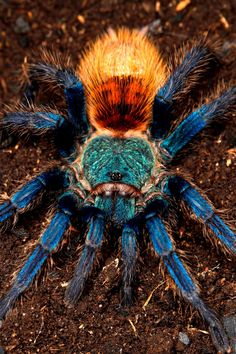 Chromatopelma cyaneopubescens green + bottle blue tarantula