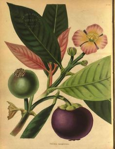 Early botanical print of Mangosteen.