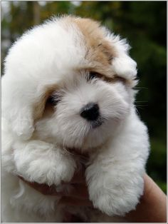 Coton de Tulear puppy...........poof!  So cute!   #dogs #pets #animals