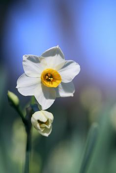 Narcissus- flower for the month of December
