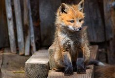 little fox one