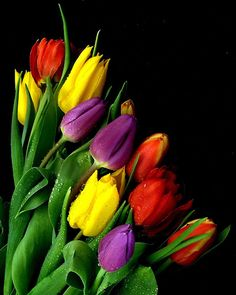 ~~ Tulips via Vanda's Pictures ~~