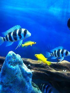 Tanganyikan tank of frontosas and leleupis. Cichlid Aquarium, Cichlid Fish, Discus, Colorful Fish, Tropical Fish, Lake Tanganyika, Fish Tank, Fish Fish, Fishing World