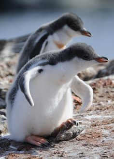Wazzup!!!  baby Gentoo Penguin