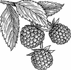 raspberry bushes art | how to draw : raspberry bush