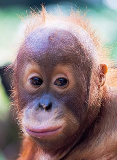 40 Heartwarming Examples of Baby Animal Photography Primates, Mammals, Cute Baby Animals, Animals And Pets, Orangutan Sanctuary, Baby Orangutan, Cute Monkey, My Animal, Animal Photography
