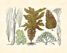 Vintage Japanese Exotic Sea Weed Kelp Plate 96 1930's Natural History Art Print. $10.00, via Etsy.