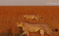Cheetah on the Busanga Plains, Kafue National Park.  http://www.we-are-wilderness.com/gallery/1399-busanga-bush-camp-in-august #Safari #Africa #Zambia #WildernessSafaris