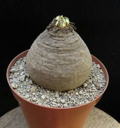 Euphorbia decidua 8cm,Caudex,Ariocarpus,Bulb   eBay