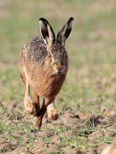 Hare running by harrybursell, via Flickr.com