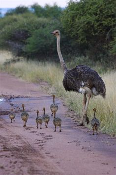 Ostrich Family, Ditholo Game Lodge