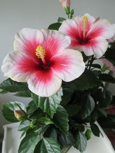 Hibiscus-such a pretty spring flower!